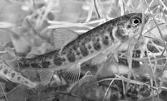 rybicka1